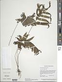view Trichomanes pinnatum Hedw. digital asset number 1