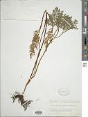 view Botrychium ternatum (Thunb.) Sw. digital asset number 1
