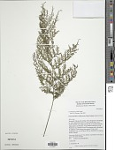 view Crepidomanes grande (Copel.) Ebihara & K. Iwats. digital asset number 1