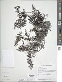 view Trichomanes pedicellatum Desv. digital asset number 1