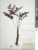 view Trichomanes hostmannianum (Klotzsch) Kunze digital asset number 1