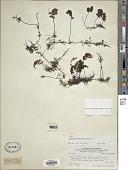 view Hymenophyllum krauseanum Phil. digital asset number 1