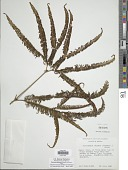 view Sticherus furcatus (L.) Ching digital asset number 1