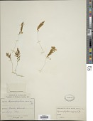 view Hymenophyllum rarum R. Br. digital asset number 1