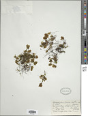view Hymenophyllum darwinii Hook. f. digital asset number 1