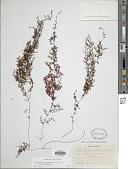 view Hymenophyllum undulatum (Sw.) Sw. digital asset number 1