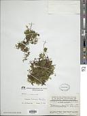 view Didymoglossum kraussii (Hook. & Grev.) C. Presl digital asset number 1