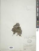 view Crepidomanes makinoi (C. Chr.) Copel. digital asset number 1