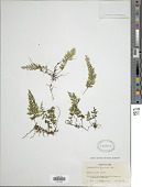 view Hymenophyllum fucoides (Sw.) Sw. digital asset number 1