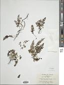 view Vandenboschia radicans var. nipponica (Nakai) H. Itô digital asset number 1