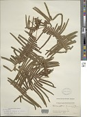view Dicranopteris linearis (Burm. f.) Underw. digital asset number 1