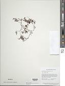 view Hymenophyllum polyanthos (Sw.) Sw. var. polyanthos digital asset number 1