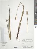 view Actinostachys pennula (Sw.) Hook. digital asset number 1