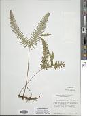 view Gleichenella pectinata (Willd.) Ching digital asset number 1