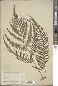 view Cibotium barometz (L.) J. Sm. digital asset number 1