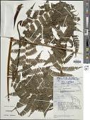view Sphaeropteris glauca (Blume) R.M. Tryon digital asset number 1