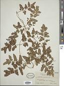 view Lygodium flexuosum Sw. digital asset number 1