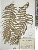 view Cyathea arborea (L.) Sm. digital asset number 1
