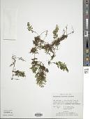 view Hymenophyllum myriocarpum Hook. digital asset number 1