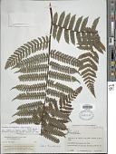 view Cyathea brunnescens (Barrington) R.C. Moran digital asset number 1