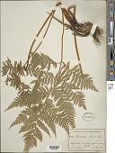 view Cyathea arborea (L.) Sm. digital asset number 1
