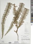 view Sticherus bifidus (Willd.) Ching digital asset number 1
