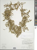 view Lygodium microphyllum (Cav.) R. Br. digital asset number 1