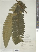view Cyathea quitensis C. Chr. digital asset number 1