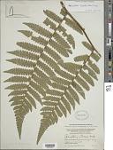 view Cyathea surinamensis (Miq.) Domin digital asset number 1