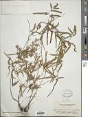 view Lygodium japonicum (Thunb.) Sw. digital asset number 1