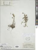 view Marsilea vestita Hook. & Grev. digital asset number 1