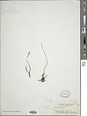 view Schizaea dichotoma (L.) J. Sm. digital asset number 1