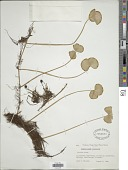 view Regnellidium diphyllum Lindm. digital asset number 1