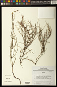 view Equisetum sp. digital asset number 1