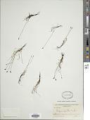 view Schizaea pusilla Pursh digital asset number 1