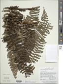 view Cyathea cyatheoides (Desv.) K.U. Kramer digital asset number 1