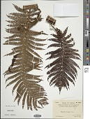 view Cyathea spinulosa Wall. ex Hook. digital asset number 1