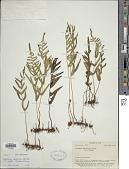 view Lindsaea ensifolia subsp. agatii (Brack.) K.U. Kramer digital asset number 1