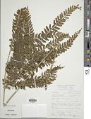view Lindsaea propinqua Hook. digital asset number 1