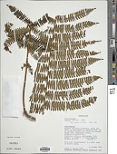 view Cyathea decrescens var. quadrata Baker digital asset number 1