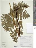 view Histiopteris incisa (Thunb.) J. Sm. digital asset number 1