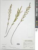 view Lindsaea walkerae Hosok. digital asset number 1