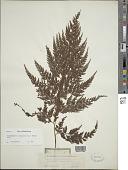 view Sphenomeris chinensis (L.) Maxon digital asset number 1