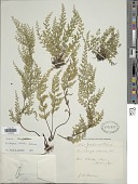 view Lindsaea viridis Copel. digital asset number 1