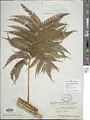 view Cyathea lepifera (J. Sm.) Copel. digital asset number 1