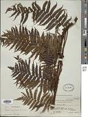 view Alsophila heterochlamydea (Copel.) R.M. Tryon digital asset number 1