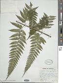 view Saccoloma campylura (Kunze) Mett. digital asset number 1