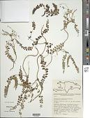 view Odontosoria scandens (Desv.) C. Chr. digital asset number 1