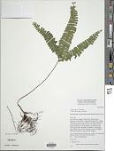 view Lindsaea obtusa J. Sm. ex Hook. digital asset number 1