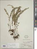view Lindsaea odorata Roxb. digital asset number 1